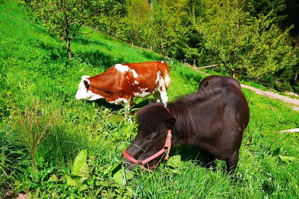Pferd mit Kuh
