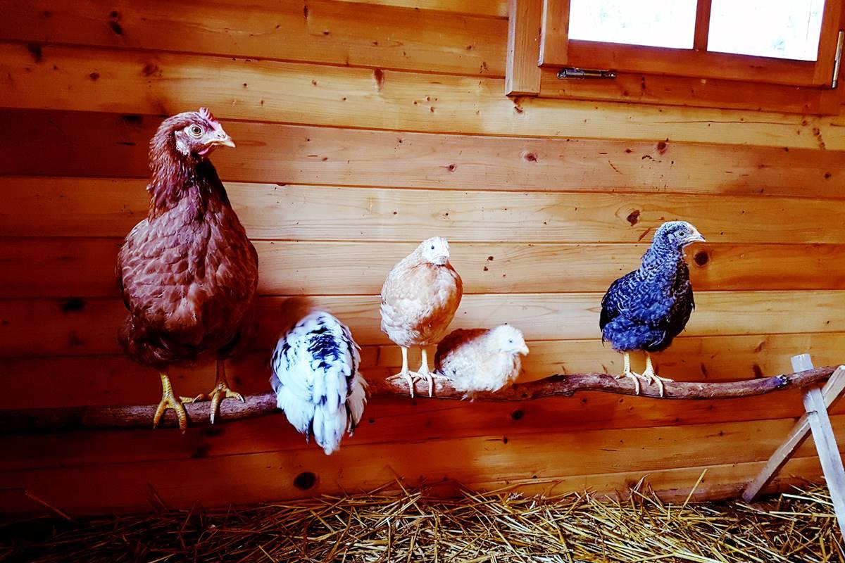 Truthennen auf der Stange im Hühnerhaus