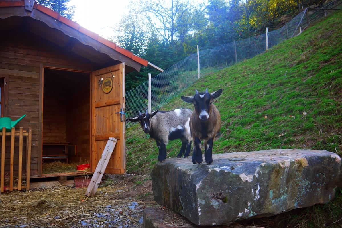 2 kleine Ziegen stehen auf einem Stein vor dem Ziegenstall