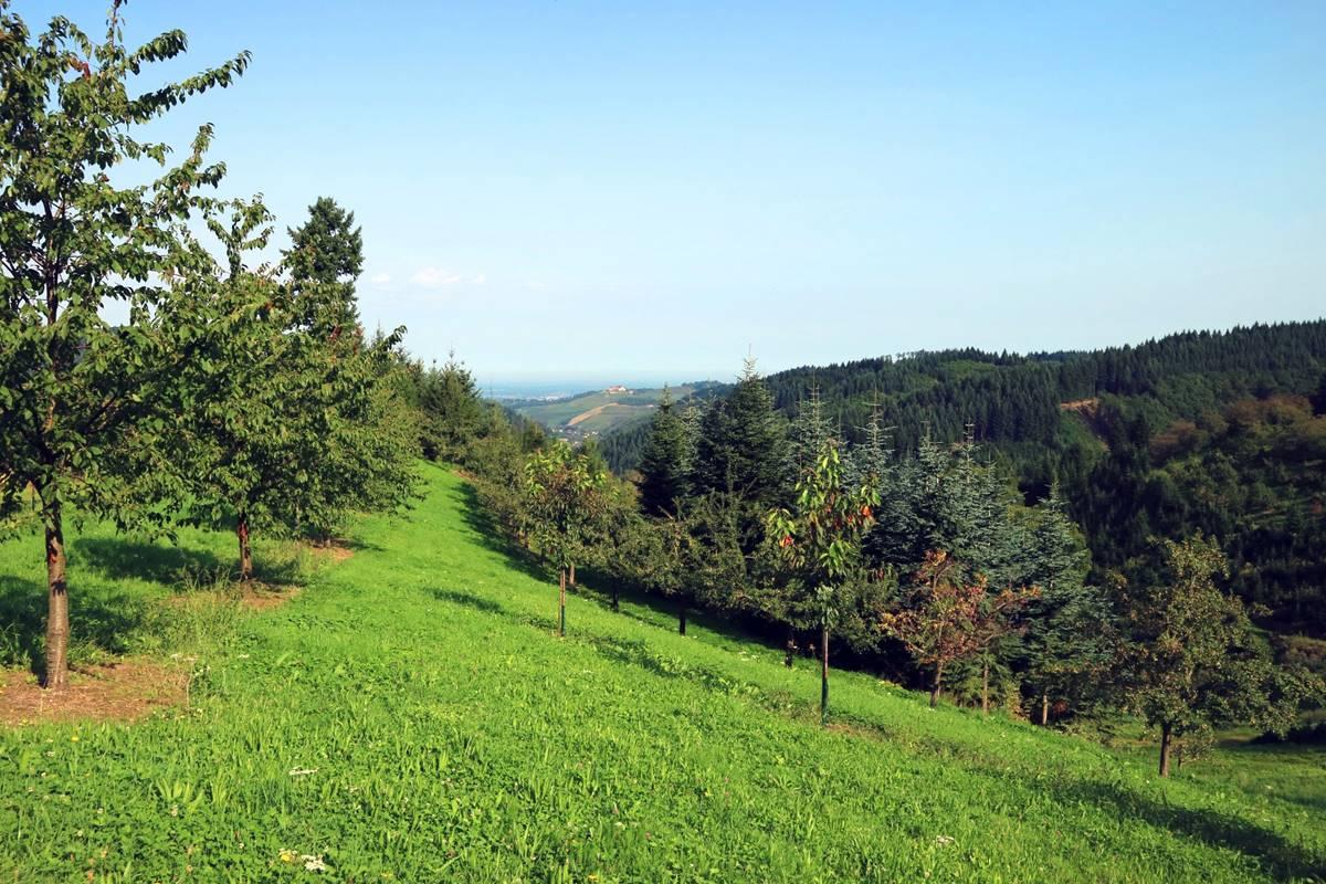 Kirschbäume auf grüner Wiese mit Schloss Staufenberg im Hintergrund