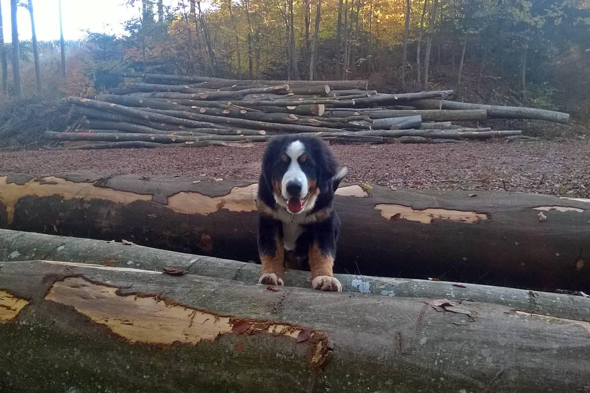 Hund vom Halterhof auf Baumstämmen im Wald